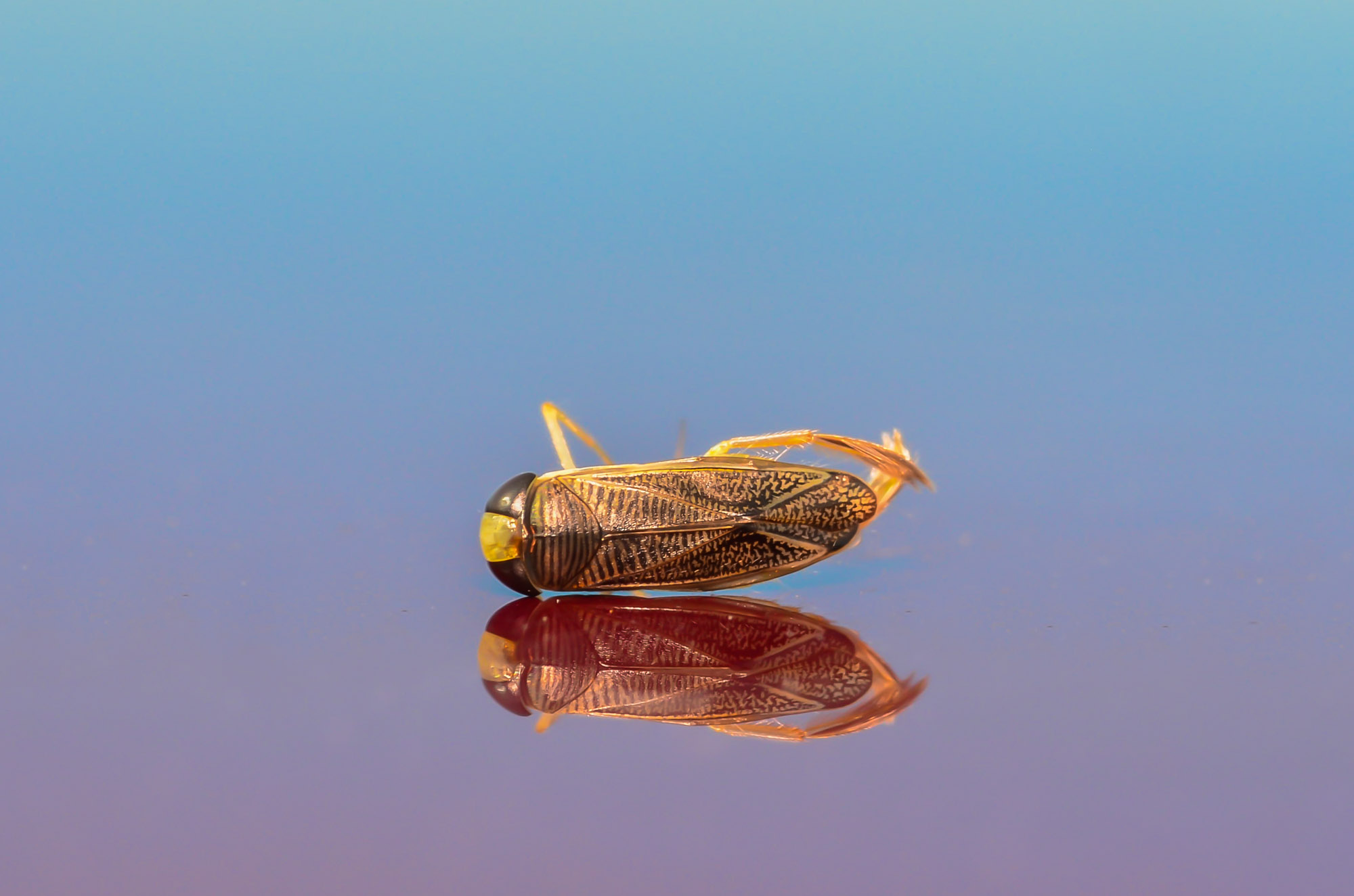 What is that water boatman doing on my car? – Insects and